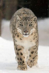 399px-Uncia_uncia leopard